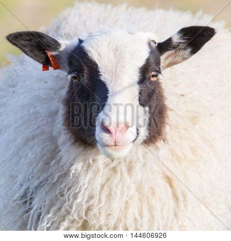 Adult Icelandic sheep looking at the camera