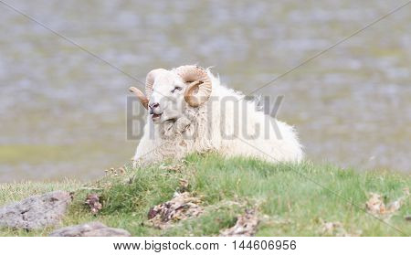 One Icelandic Big Horn Sheep