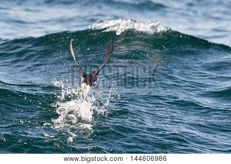 Atlantic Puffin (fratercula Arctica) Flying Low Above Water
