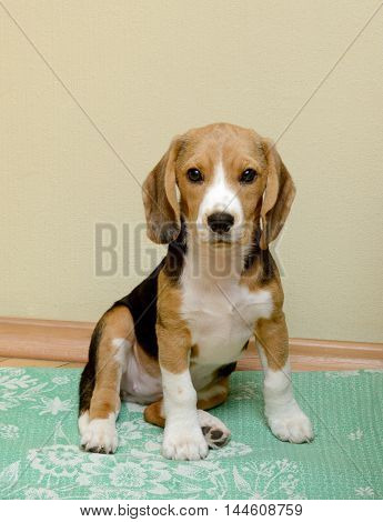 Female Beagle puppy sitting on the floor at home