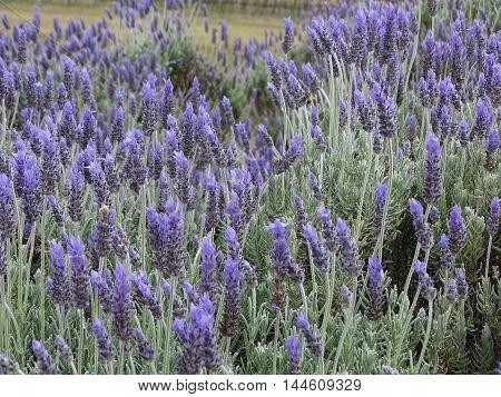 A bee in a field of lavender plants in bloom