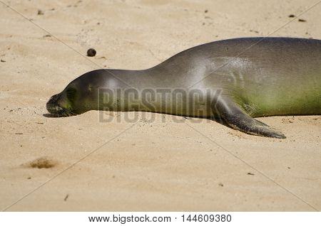 Baby Hawaiian Monk Seal resting on the sand by the beach. Endangered species.