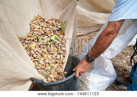 Pickers at work while fulling pails with just picked almonds Noto Sicily