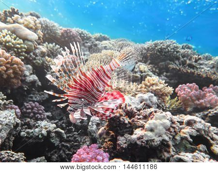 Pterois volitans Lionfish on coral reef. Red Sea. Egypt
