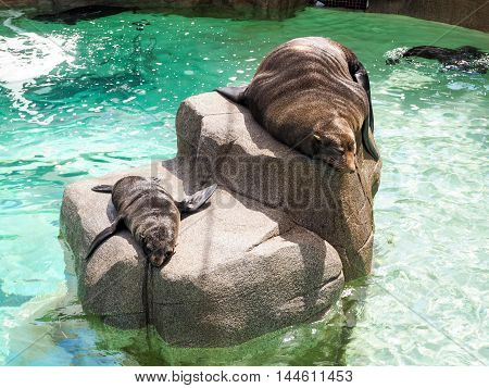 Fur Seal Mother And Her Baby