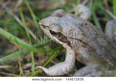 Little Frog.