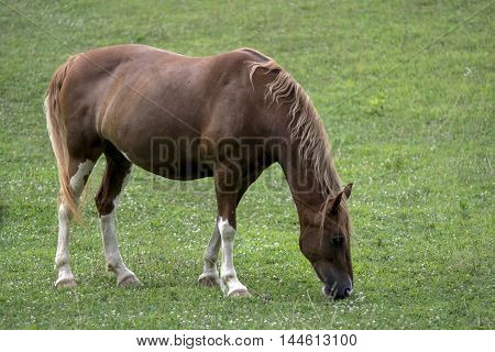 Brown and white mare grazing in a pasture