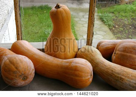 ripe yellow pumpkins-violins arranged by the window
