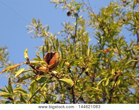 Almond tree with ripe almonds in Alora countryside Andalusia