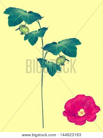 mallow isolated on yellow background. colorful flowers