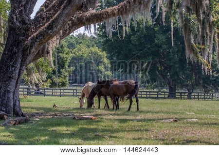 Three horse grazing with a live oak and Spanish moss in the foreground