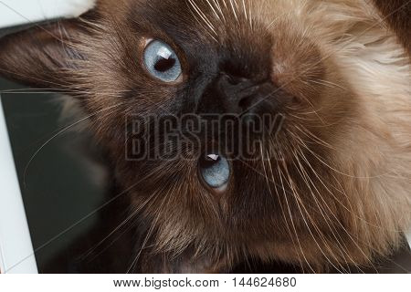 Balinese cat with blue eyes lying on the tablet computer
