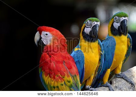 Scarlet Macaw, The Colorful Bird With Various Of Red Yellow Green And Blue Feathers Parrot Sitting B