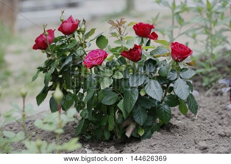 Bust of beutiful red roses in the garden.