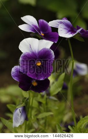Violet Flower With Yellow Center.