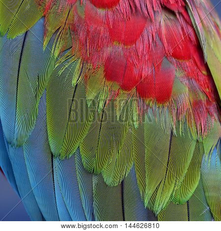 Tri-colors of Green-winged macaw feathers the colorful bird's texture