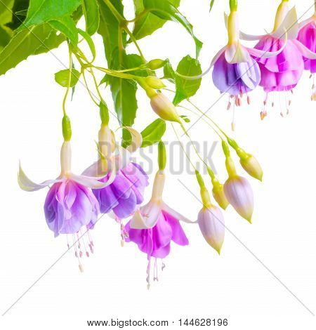 beautiful blooming branch of gentle lilac fuchsia flower is isolated on white background close up `Holly`s Beauty`