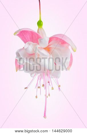 Blooming Beautiful Single Flower In Shades Of White And Gentle Pink Fuchsia On Pink Background, `mar