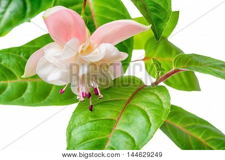 Blooming Beautiful Branch In Shades Of White And Soft Pink Fuchsia Flower With Leaves Is Isolated On