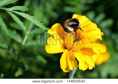 big bumblebee collects nectar from a yellow flower marigold