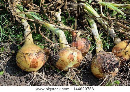 ripe onion lies drying in the garden closeup