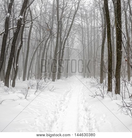 Christmas mysterious winter forest with snowstorm and footpath in a fog Russia