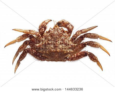 Fresh raw Gimsojung sea crab on white background
