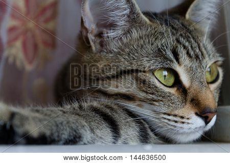 portrait of a relaxed cat lying portrait, kitten