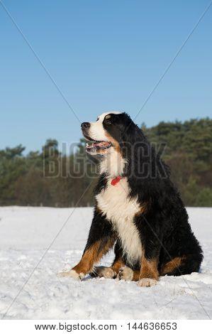 Berner Sennenhund outdoor sitting in snow landscape