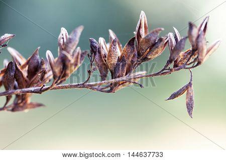 dried soft autumn flowers. Rabbit Tail Grass. vintage foto