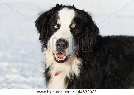 Portrait Berner Sennenhund in snow with one blue eye