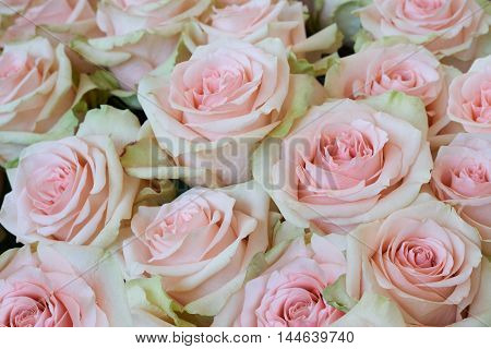 Heap of beautiful pink roses as floral background