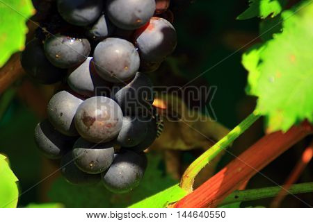ripe bunch of grapes hanging among the leaves. a bunch of village wasp and crawling on the grapes