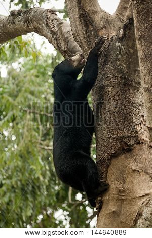 A climbing bear on the tree