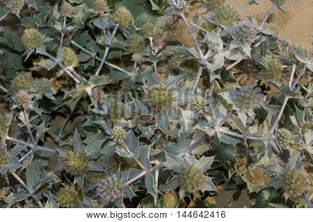 Sand Dune Thistle - Blue thistle blooming on the French Atlantic coastline. Helps stabilize the dunes against erosion.