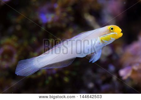 Blueband goby (Valenciennea strigata). Sea life.