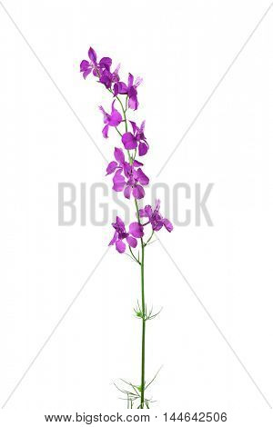 Violet delphinium flower isolated on white