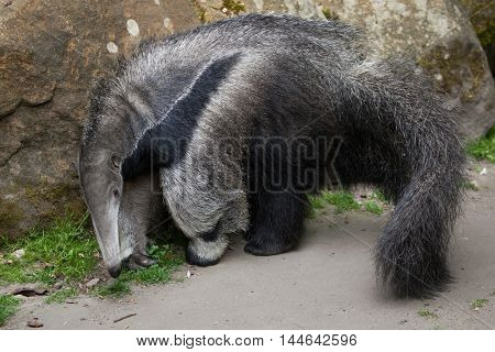 Giant anteater (Myrmecophaga tridactyla), also known as the ant bear. Wildlife animal.