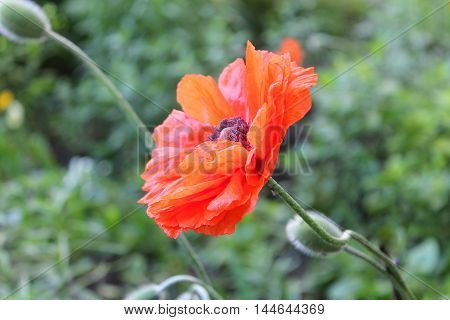 red poppy close-up on a green background