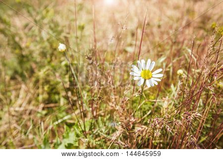Chamomile on meadow