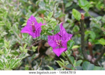 Bougainvillea flower purple bougainvillea on an evening (Bougainvillea glabra Choisy)
