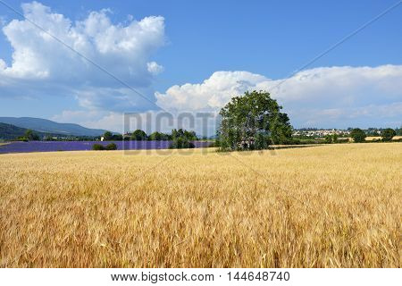 Stunning landscape with wheat field with big green tree in the center lavender field and medieval village of Sault on background. Plateau of Sault Provence France