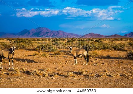 Two oryx standing at the road in the savannah. Dirt road in the African steppe. The concept of exotic tourism. Travel to Namibia