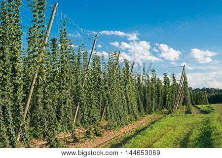 Hop field before the sundown, Czech Republic