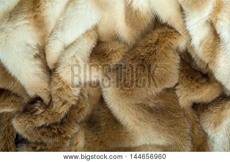American Mink (neovison Vison) Is A Semiaquatic Species Of Mustelid. Very Nice Fur Coat On A Female