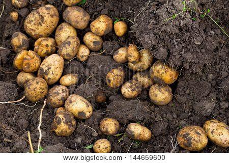 Fresh dug potatoes in the garden, ground