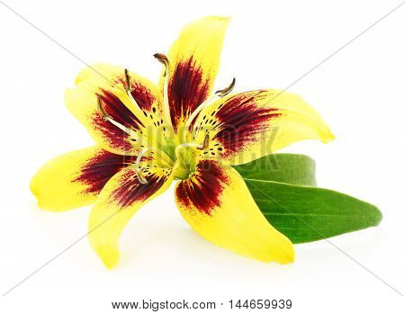 One yellow lily isolated on white background.