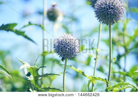 Blue echinops balls on the blue sky