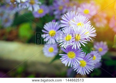 Beautiful purple color of margaret flowers in the garden.