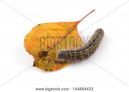 hairy caterpillar worm on a leaf. isolated on white
